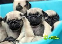 Pug Filhote Machos C Pedigree Para Adopção