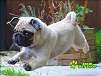 Filhote De Pug Para Adopção