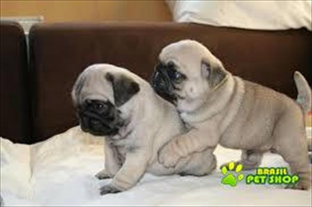 Pug Para Adopção