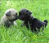 Os Filhotes De Pug