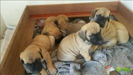 Filhotes De Dogue Alemão Dourados - Com Pedigree Cbkc