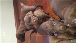 Filhotes De Labrador Chocolate / Marrom