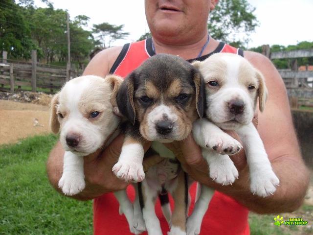 Beagle Filhotes Lindos E Maravilhosos