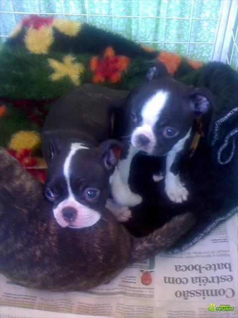 Boston Terrier Lindos Filhotes