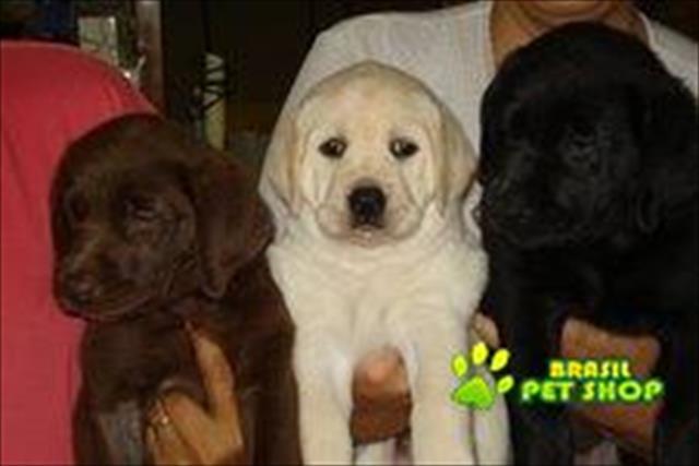 Labrador Preto Filhotes Adoráveis