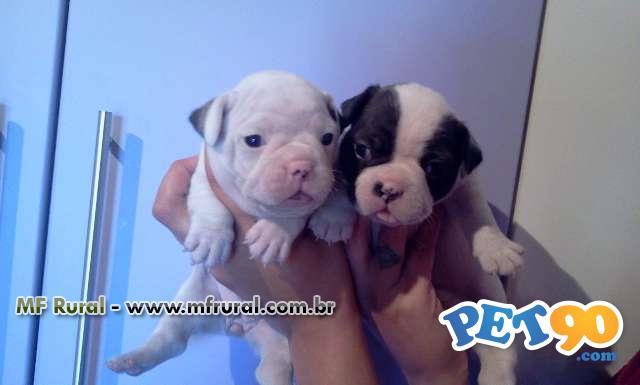 Venda de Filhotes de Bulldog Francês