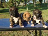 Filhotes de Boxer