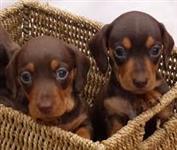 Filhotes de Dachshund chocolate