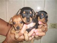 Filhotes de Pinscher