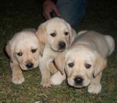 Filhotes de Labrador Amarelo e Preto