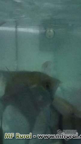 piscicultura recanto dos bettas