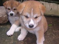 Akita inu belos filhotes