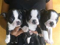 Vendo filhotes de BOSTON TERRIER
