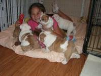 Bulldog Bulldog Inglês para adoção