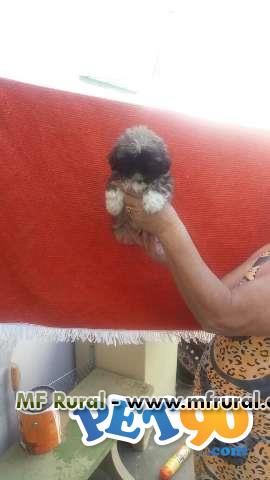 vendo filhotes de shitzu, mini shitzu e lhasa apso puros temos machos e femeas damos garantia