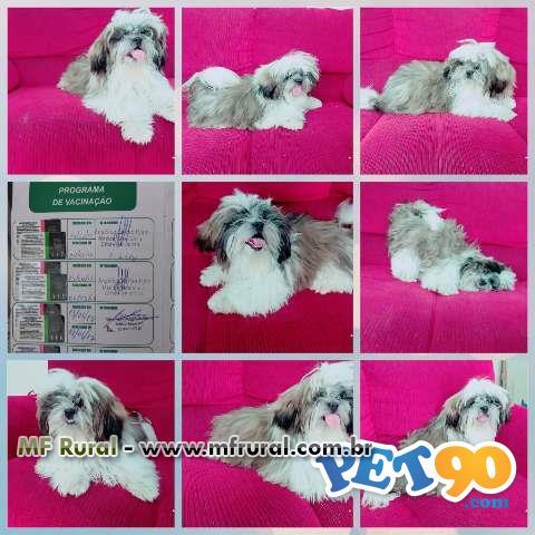 Vende-se cachorro da raça lhasa apso de 6 meses de idade