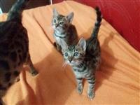 Gatos Bengal filhotes - pedigree Gatobras