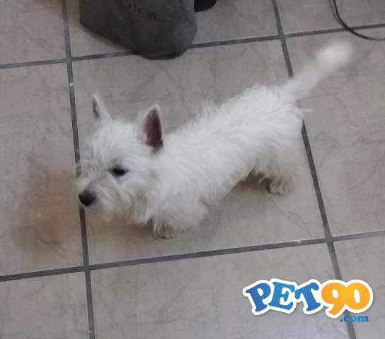 West Highland White Terrier - Filhote