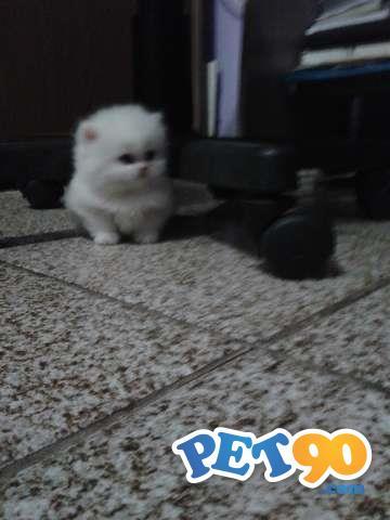 vendo 2 filhotes de gato persa 1 macho e uma1 femea com 1 mes e 25 dias