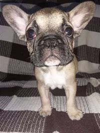 Bulldog Francês filhote