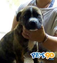 Filhotes Bandog /Dogo Argentino mix Rottweiler
