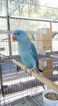 Papagaio Ring Neck Azul. Aprende a falar.