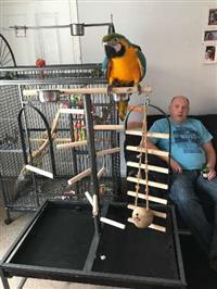 Papagaios de arara azul e ouro agora disponíveis