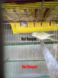 Venda de Red Rumped