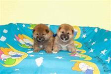Lindos filhotes de Shiba-Inu