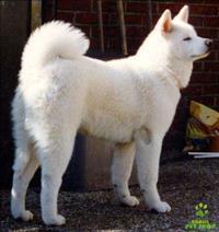 Iimperdível fêmea branca de akita somente r$1800,00