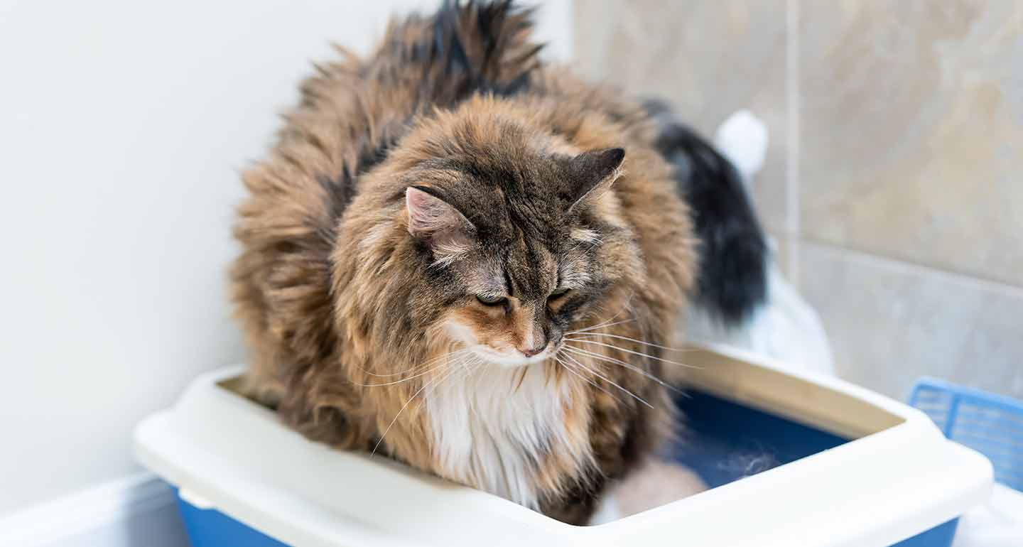 Old Cat Diarrhea Causes And Treatment For Diarrhea In Senior Cats