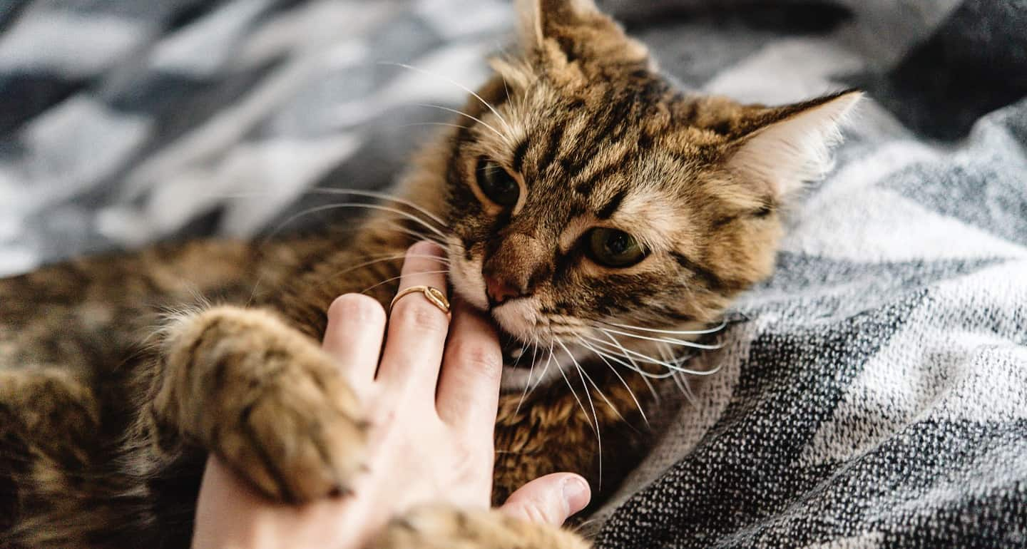 Cat Love Bites How To Stop A Cat From Biting You