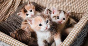kittens in litter how many