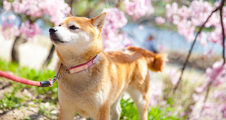 Shiba Inu Dog Breed Facts Temperament And Care Info