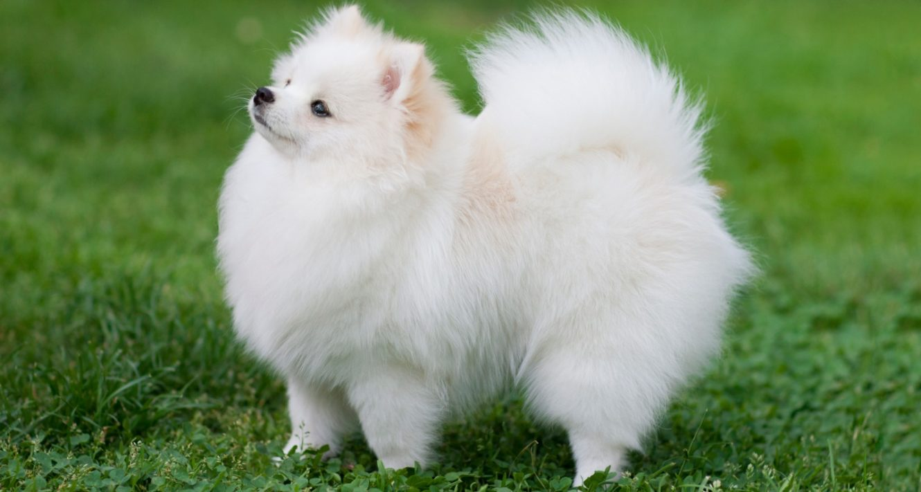 Pomeranian Dog Breed Essential Facts Temperament And Care Info