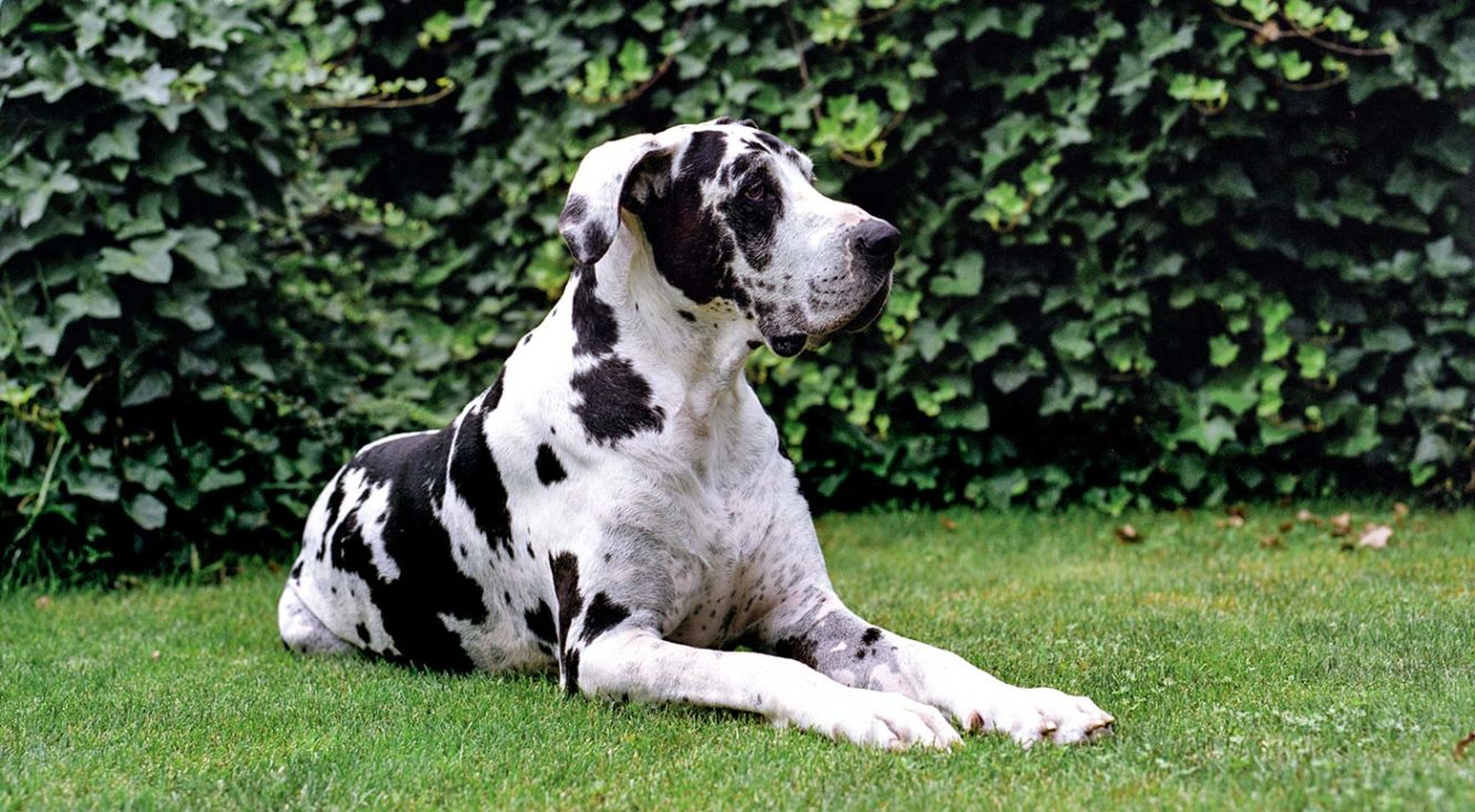 Great Dane Dog Breed Facts Temperament And Care Info