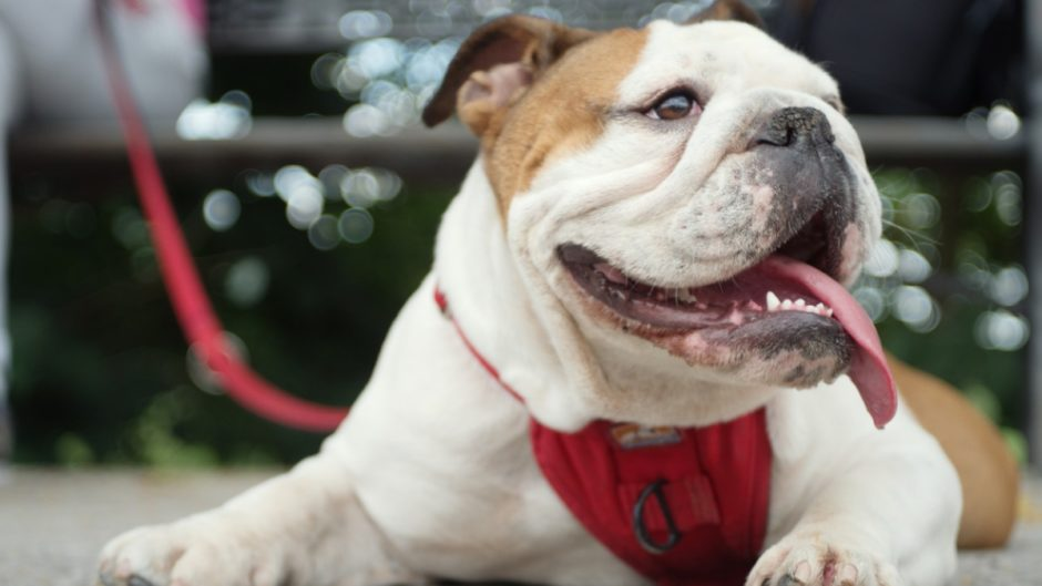 17 Easy-Going Dog Breeds - Pet Central by Chewy