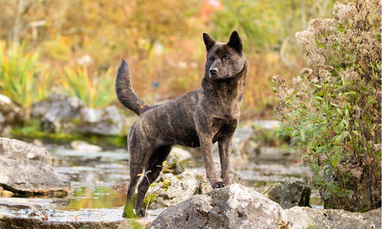 japanese dog breeds - kai ken