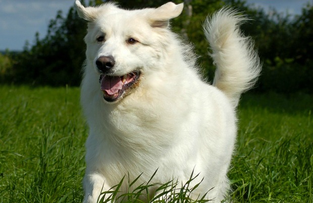 10 Long Haired Dog Breeds