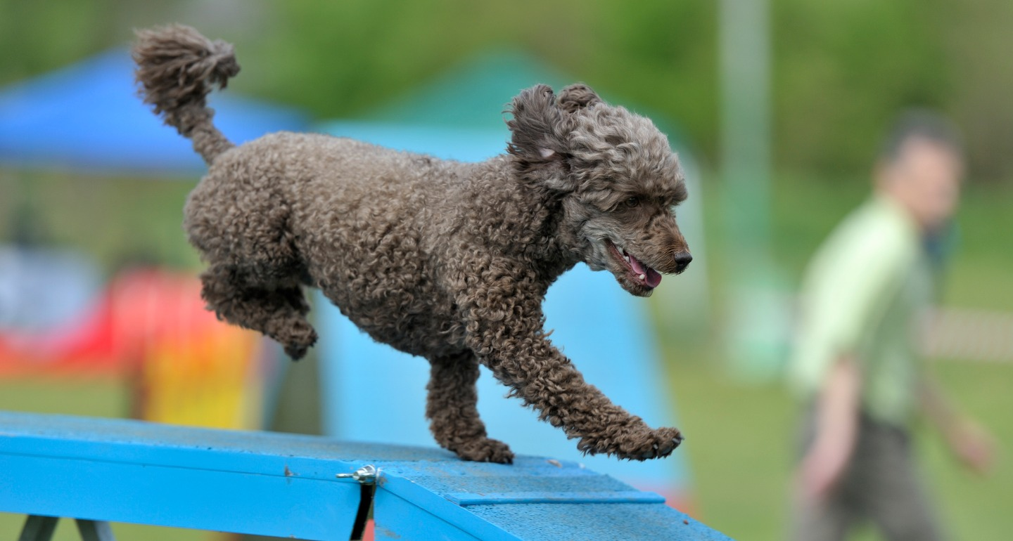 dog doing agility for confidence booster
