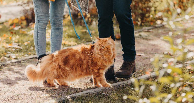 Leash Training a Cat
