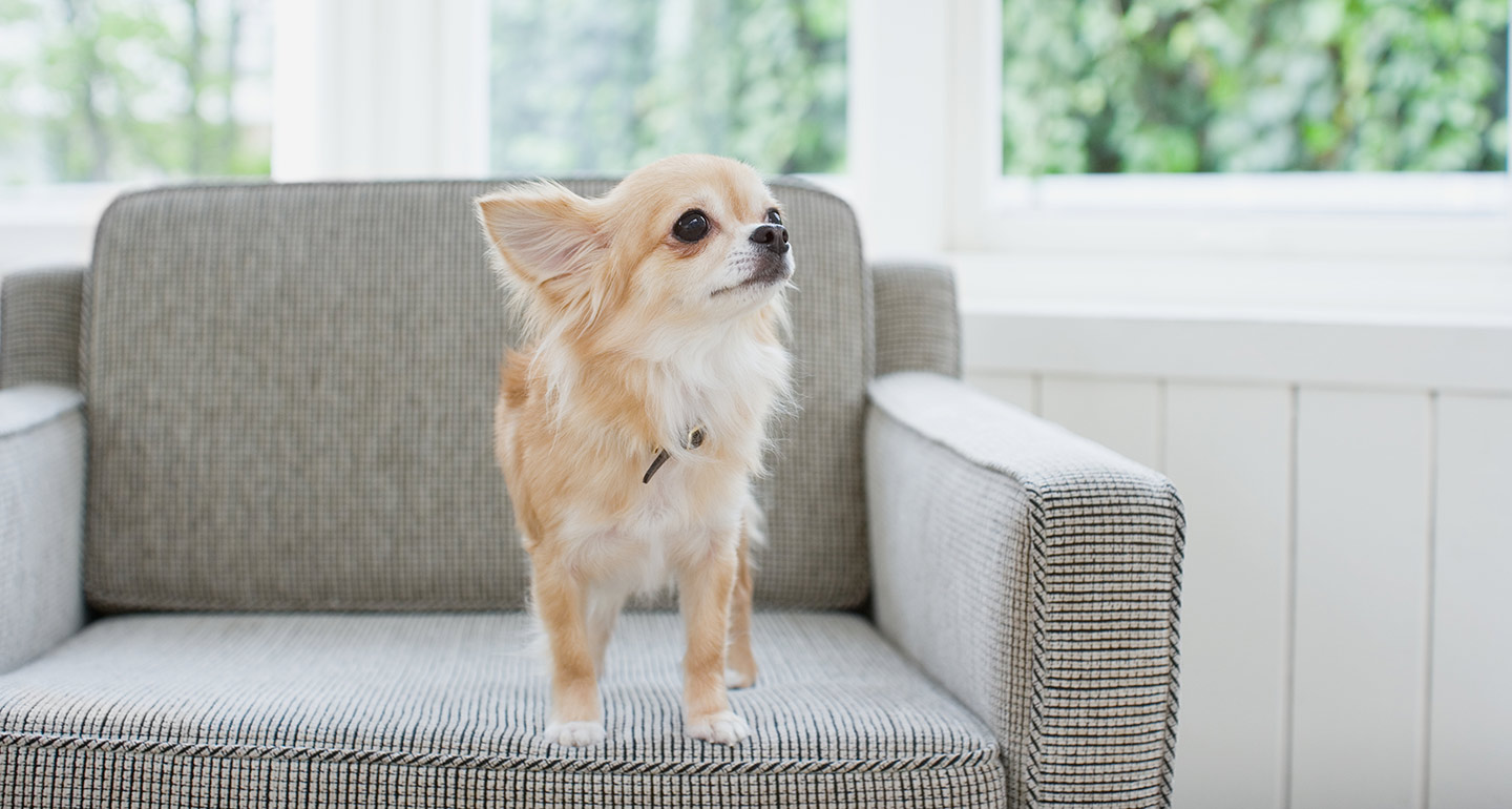 Chihuahua Dog Breed Essential Facts Temperament And Care Info