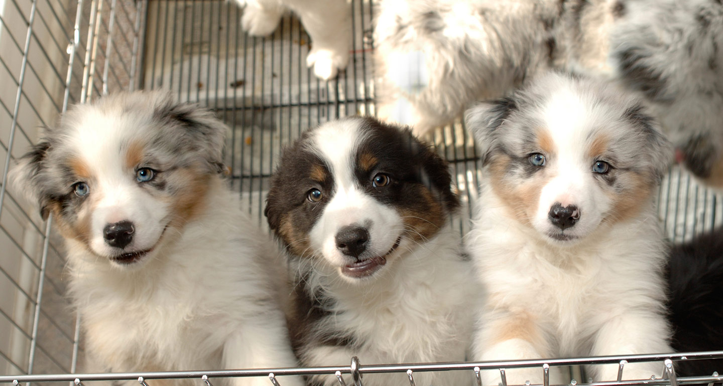 Should I Buy A Puppy From A Pet Store Read This First