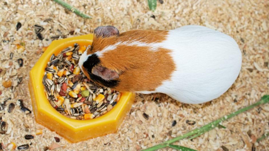 guinea pig Guinea Pig Diet Tips tips