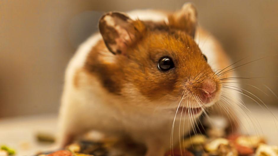 Basic Hamster Diet: What Do Hamsters Eat?