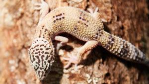 pet lizards
