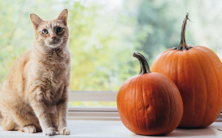 Orange cat sitting next to pumpkins