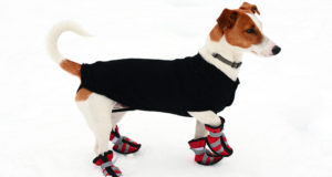 how to train dog to wear boots
