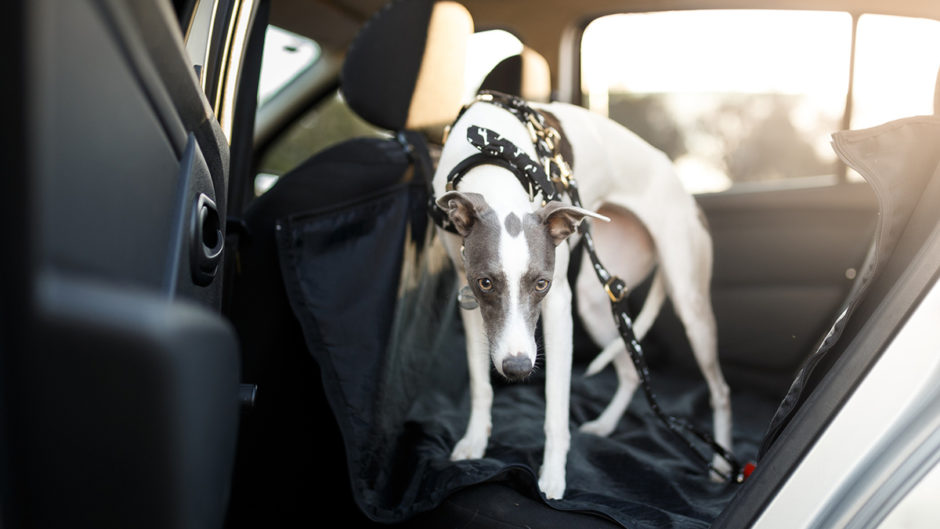 Dog in back seat of car with dog seat cover