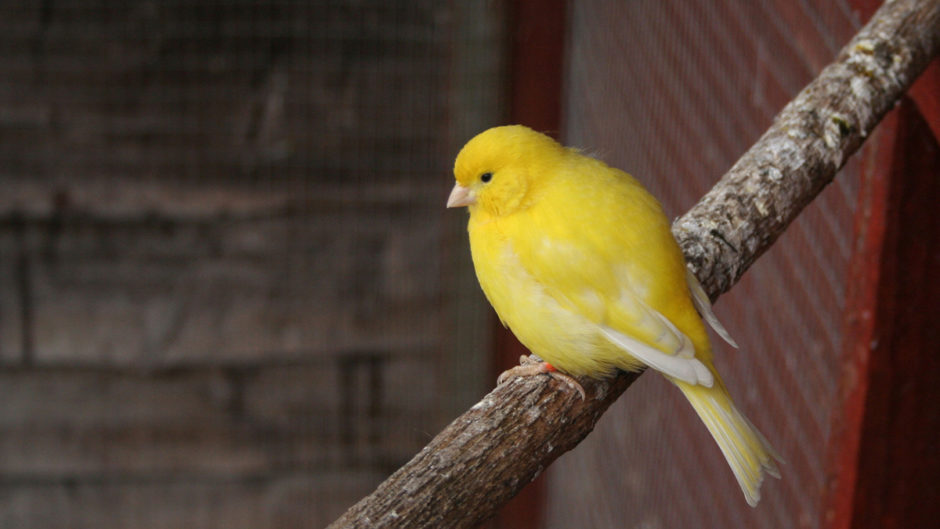 All about canaries